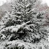 ŚWIERK w zimowej szacie