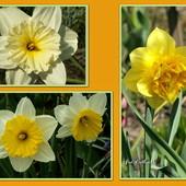 Wiosenne kwiaty          ,narcyzy