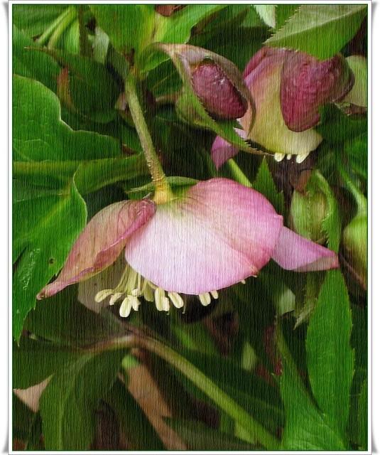 Ciemiernik różowy