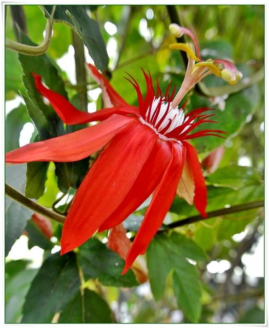 Czerwona passiflora