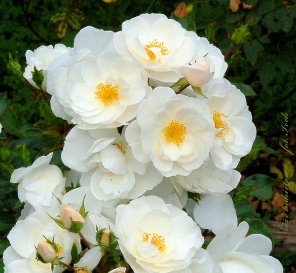 róże bukietowe