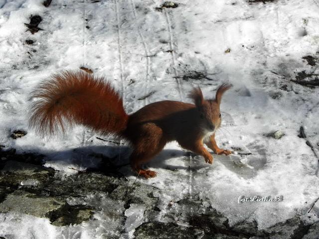 Wiewiórka ruda kitka.