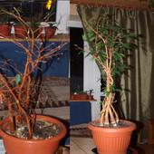 Ficus Beniamina (po 2 miesiącach)