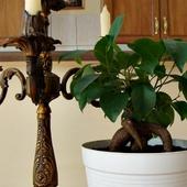 Fikus Bonsai - najnowszy w mojej kolekcji.