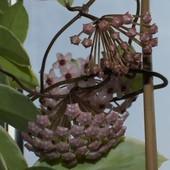 Hoja carnosa variegata