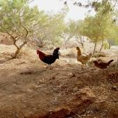 Jordańskie kury-takie jak nasze???