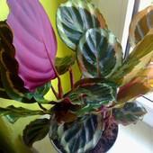 Kalatea roseo-picta