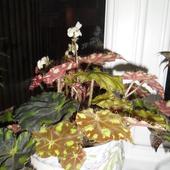 Kwitnaca begonia :)