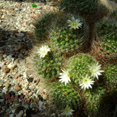 Kwitnące kaktusy.