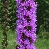 miododajny kwiat