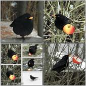 Pan Kos,ptaki w moim ogrodzie