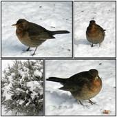 Pani Kosowa,ptaki w moim ogrodzie.