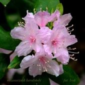 różanecznik karoliński