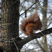 Wiewiórka.