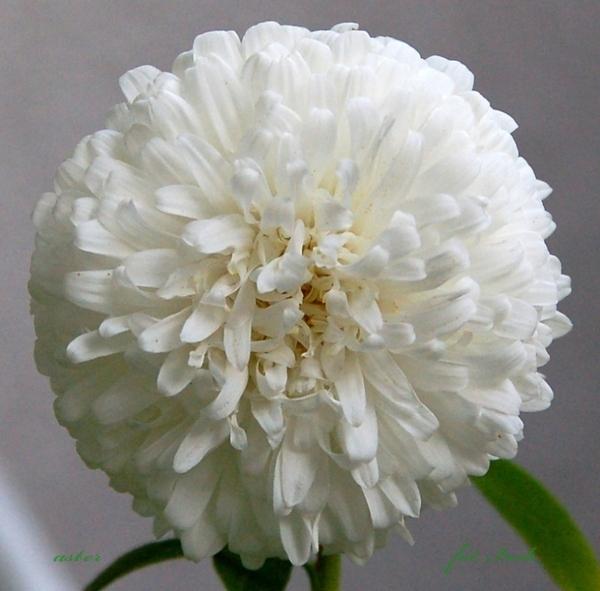 aster biały