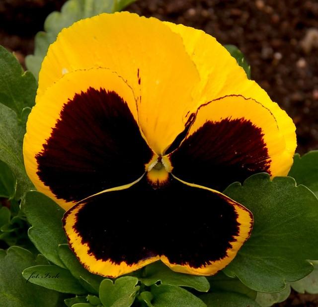 kwiatek bratek