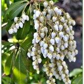 Białe grono