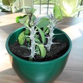 Euphorbia mili (wilczomlecz lsniacy)