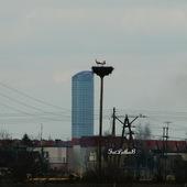 Gniazdo bocianów wyżej niż Sky Tower