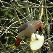 Jemiołuszki odwiedziły ptasią stołówkę.