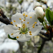 Kwitną drzewa owocowe-ŚLIWA MIRABELKA.