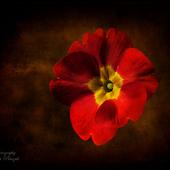 Pierwiosnek -  Primula vulgaris