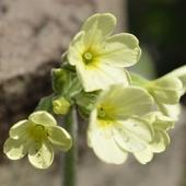 Pierwiosnek wyniosły (syn. pierwiosnka wyniosła) Primula elatior (L.)Hill.