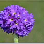 Pierwiosnek ząbkowany - Primula denticulata