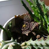 Pierwsza tej wiosny Orbea variegata na parapecie