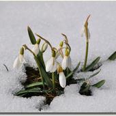 Śnieżyczka Przebi�