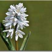 Puszkinia cebulicowata - Puschkinia