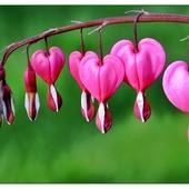 Rózowe serca