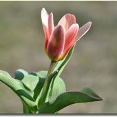 Tulipan botaniczny