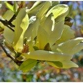 Żółte magnolie