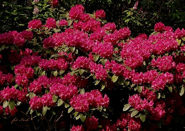azalia, rododendron