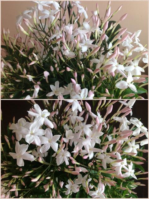 Kwiatuszki jaśminu