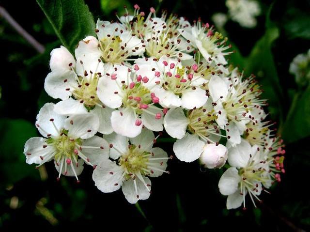 Kwiaty aronii
