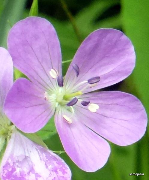 Lawendowy kwiatuszek.