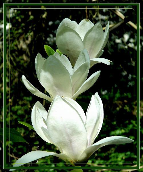 W Powsinie magnolie jeszcze kwitną.
