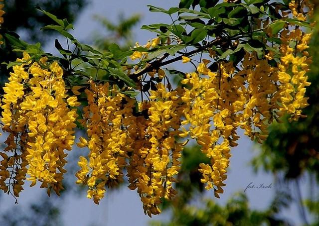 złotokap, kwiaty