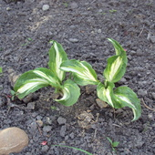 Hosta 'Allegan Fog'