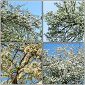 Kwitną drzewa owocowe.