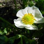 Kwitnie truskawka