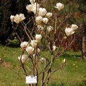 magnolia biała