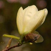 magnolia cytrynowa