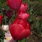 Malinowe tulipany... zakochałam sie w ich kolorze......