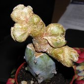 Mammillaria duwei 'Dinosaur