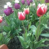 moje tulipany 1