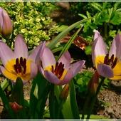 Ostatnie z botanicznych tulipanków