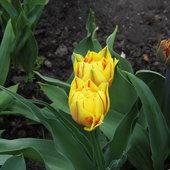Pięknej słonecznej soboty w kolorze tuliśków :)